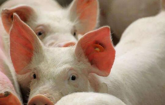"""河南内乡""""楼房式养猪""""扩大生猪产能"""