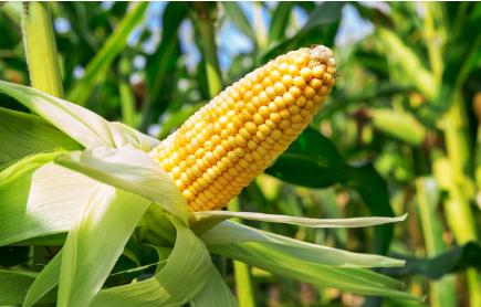 CFT肺炎疫情催化推高玉米价格 消费停摆或拖累后市走势