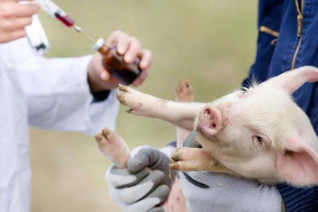 后续:非瘟疫苗短期内不会大规模推广!