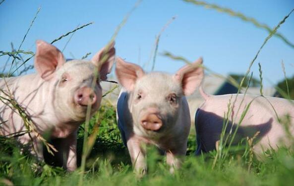 春季这8种常见病会造成猪只大量死亡,不可掉以轻心!