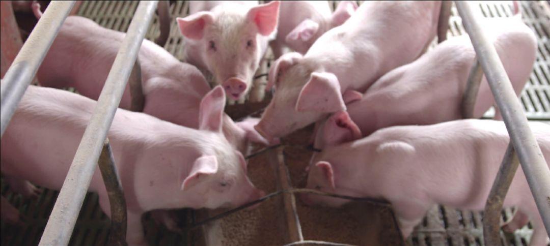 """想加入双胞胎""""公司+农户""""的朋友看过来 !猪苗好、服务好、饲料更安全!"""