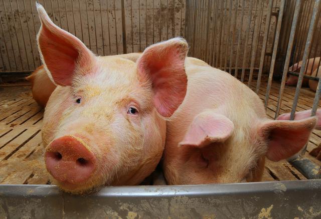 """自配料喂猪多年,猪得上了""""营养缺乏症""""丨正确准确""""防治措施"""""""