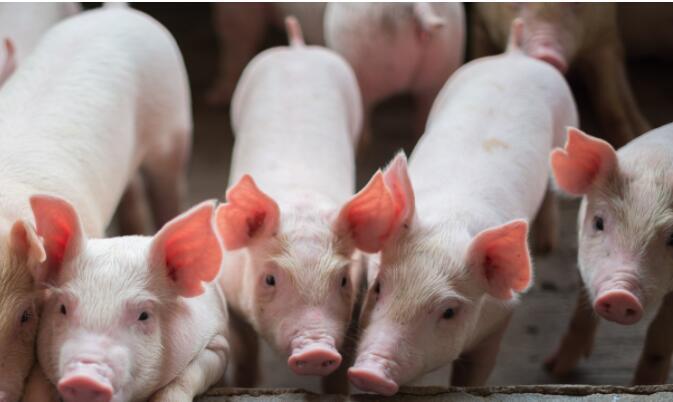 """养殖股大涨!""""超级猪周期""""还有机会?"""