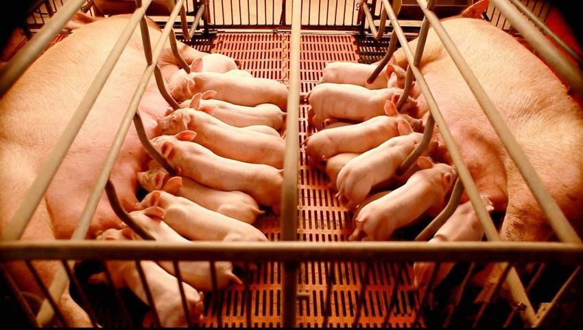 如何通过改善母猪和环境,来提高断奶前仔猪成活率?