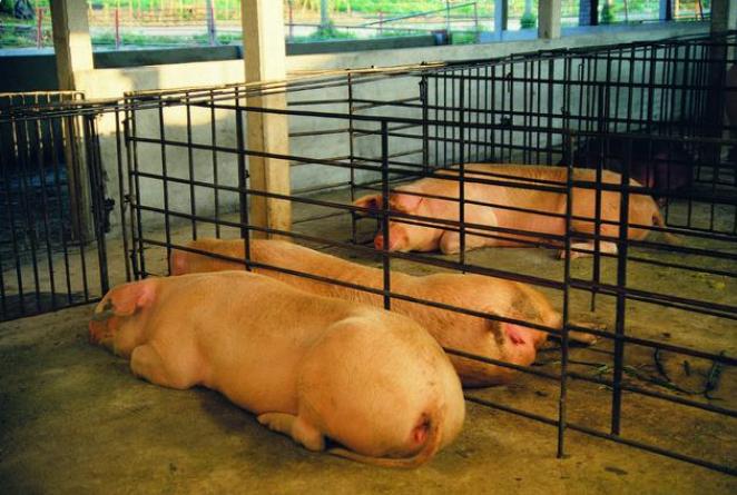 """母猪不发情?养猪人请反省!你""""调教""""了吗?"""