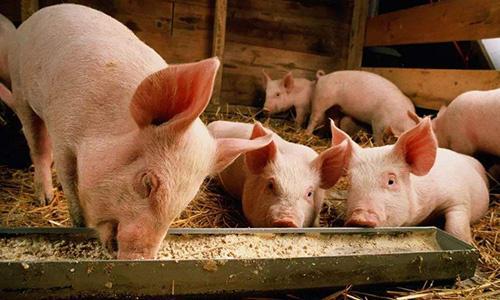 临床区分猪病毒与细菌性腹泻