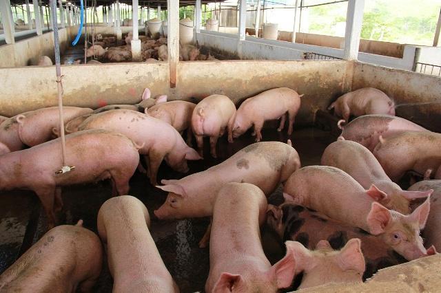 50万头生猪产业链带动云南弥渡县村民奔小康