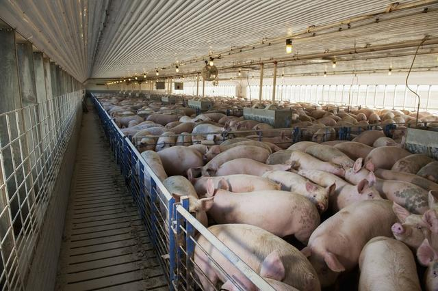 猪场必备防非技能:与非瘟交手一年半,你学到了什么?