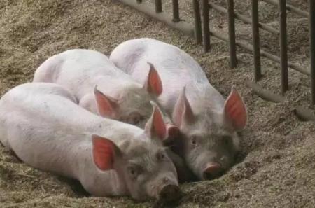 养猪人不容易、季节交替天气变化应激大、预防疾病要提前