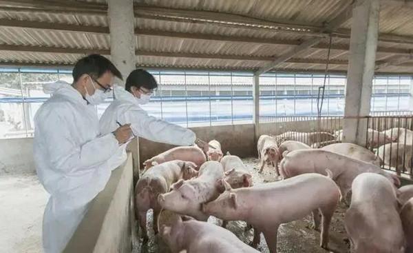 生石膏在养猪上的妙用,连高热病都有效,养猪人你用过吗?