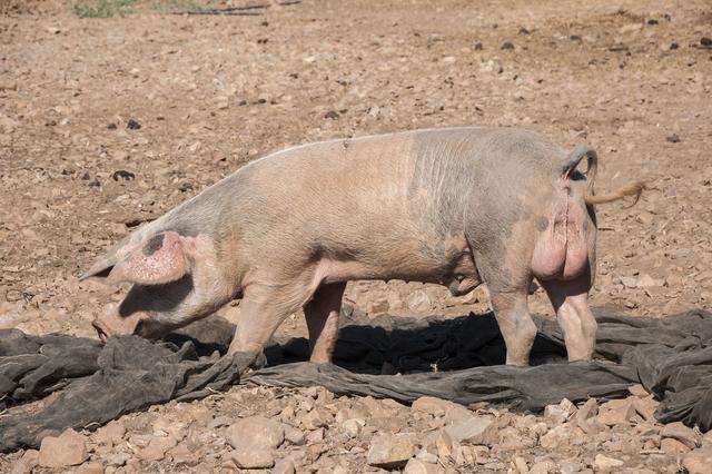 种公猪的饲料里,这两样维生素不可少,关系到种猪品质