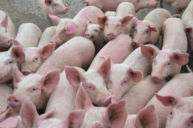 猪肉价格持续高位,养猪三巨头哪个更值得投资?