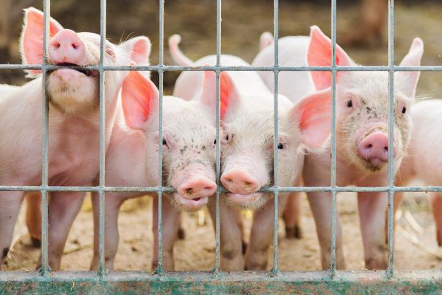 防止因应激引发疾病!怎样理解猪的应激与疾病?