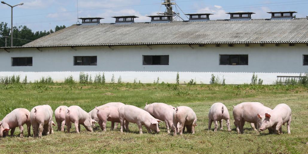 母猪缺口大,温氏开始外购仔猪,多家企业打响仔猪争夺战