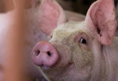 郑州20条措施稳定生猪生产:引进种猪每头补贴2000元