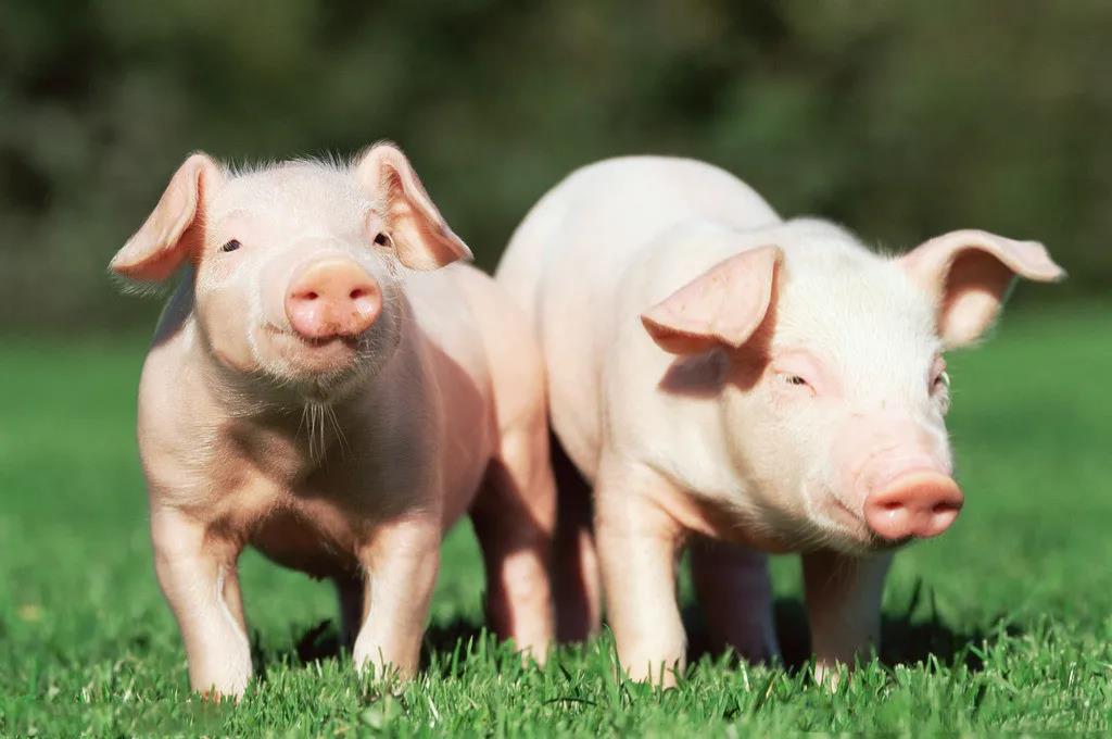 疫情下,带您倾听湖北养猪企业的真实声音(一)