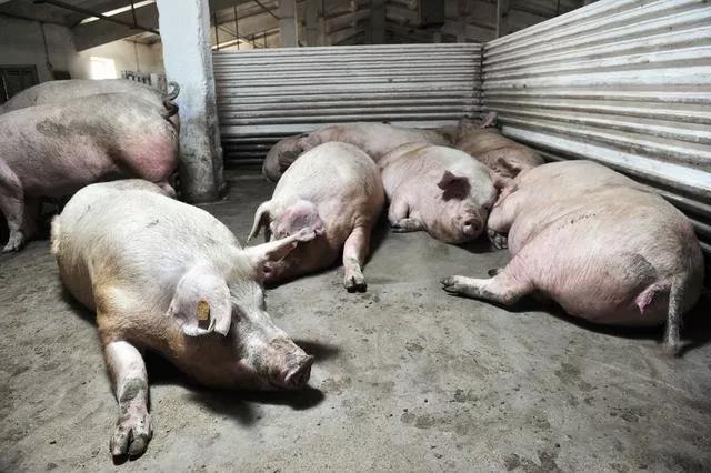 """有关猪价的""""坏""""消息!难道今年养猪会亏钱?!"""
