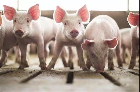 又一波牛猪,屠企趁机压价,3月猪价还将下跌?
