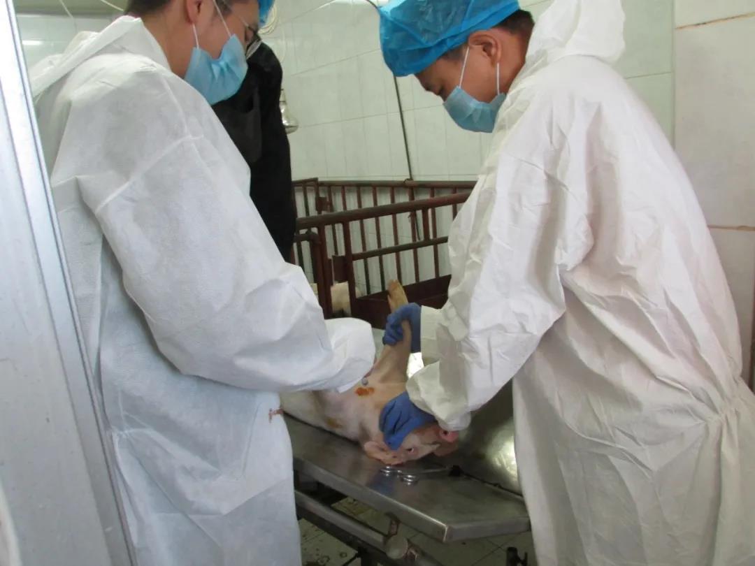 深度访谈|中国兽药协会才学鹏会长解读国家关于猪瘟防控、净化的指导性政策