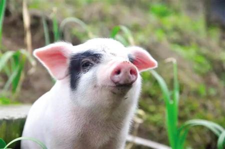 江苏建80多个万头猪场 推进自动化、数字化养猪