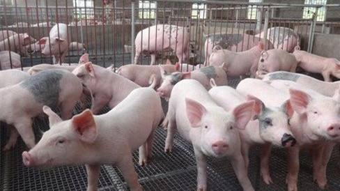 14斤仔猪2000多元,少死快长至关重要!这篇仔猪健康管理方案,请收藏
