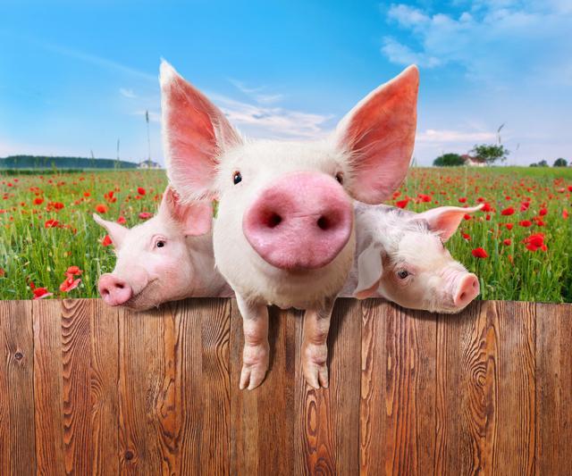 """3月猪价再次下调!上半年要迎来""""下跌潮""""?两点因素,提早准备"""