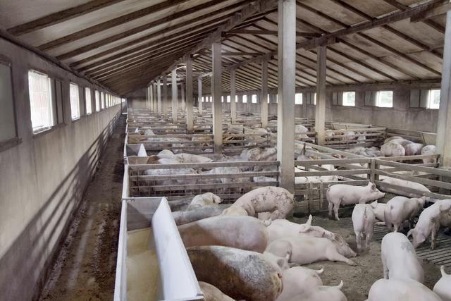 生猪养殖自繁猪仔自养增加效益,早春猪舍管理要点,养猪注意事项
