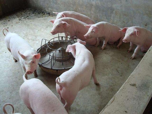 千万别忽视,水对猪场安全的影响占到80%