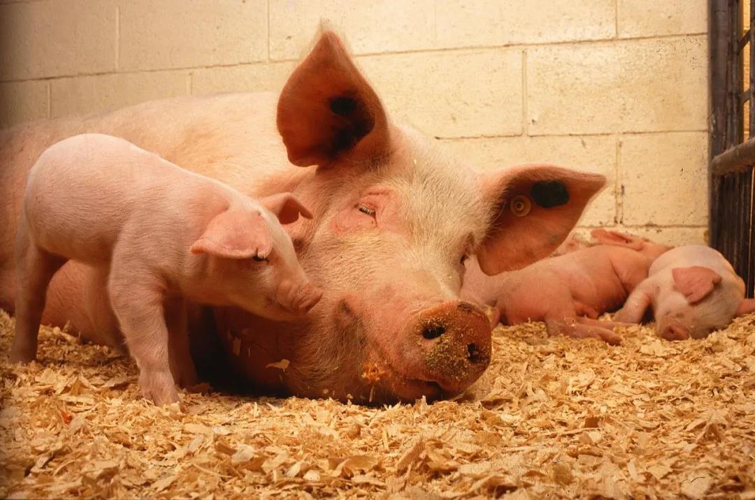 中国农科院升级发布三项技术:防控非洲猪瘟,支撑猪场复养