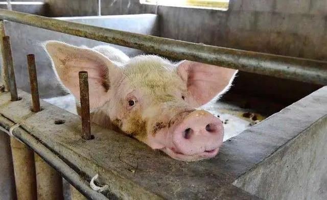 时隔两个月再次发现非洲猪瘟,专家:这次猪瘟恐怕更加严重
