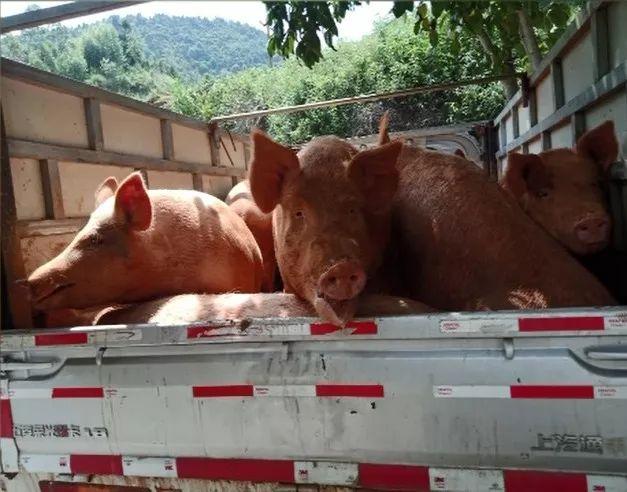四川省乐山市在查获的外省违法调运生猪中排查出非洲猪瘟疫情