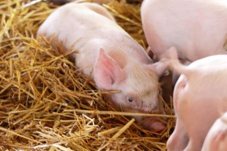 猪场管理之仔猪的饲养技巧你掌握多少?