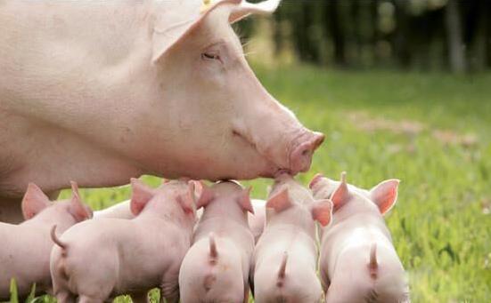 如何处理母猪分娩时6种紧急情况,提高仔猪成活率