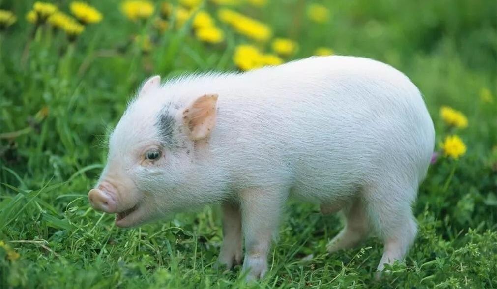 新冠病毒感染猪吗?NPPC称新冠疫情将对美国养猪业产生灾难性影响