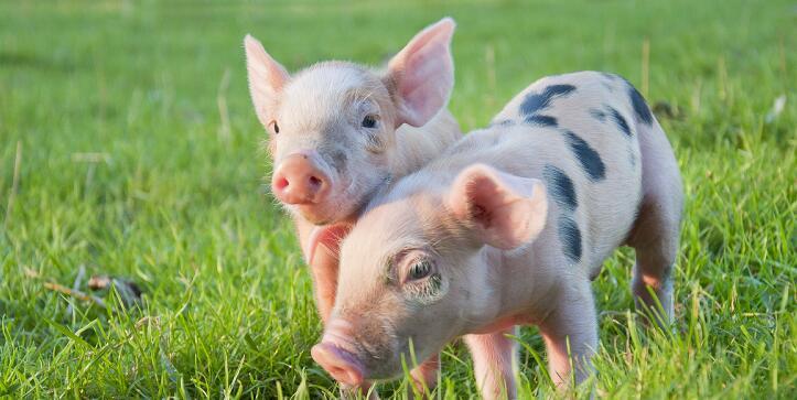 3月17日生猪价格,高价区继续小幅下调,华东地区今日小幅回涨!