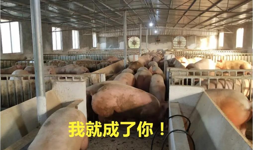 还记得进500头猪苗的那个猪场吗?它卖出了470头肥猪!养猪利润110多万
