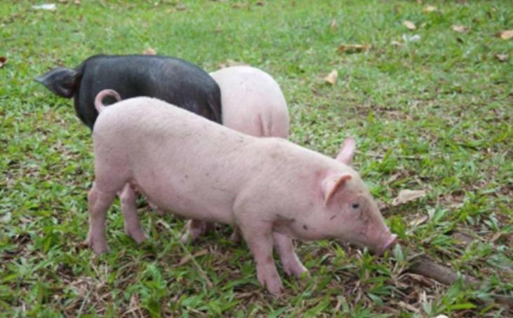 3月17日全国各省市10公斤仔猪价格报价表,今日江西省青山湖区10公斤外三元仔猪最高价达到110元每斤的价位!