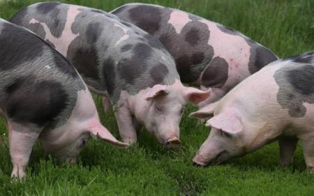 """浙江:莲都生猪养殖场——看看""""云""""养猪有啥不一样"""