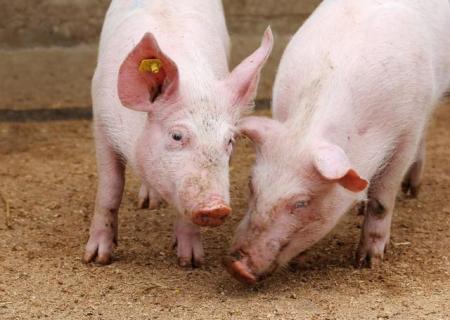 各地立下军令状,今年生猪出栏量能达到多少?将比去年低15-20%?
