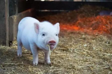 3月19日全国各省市10公斤仔猪价格报价表,就目前而言,其10公斤仔猪的价格还在持续上涨 !