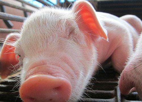 3月20日全国各省市15公斤仔猪价格报价表,今日15公斤仔猪的均价约在110元每公斤,局部地区仔猪价格大概在80元每公斤!