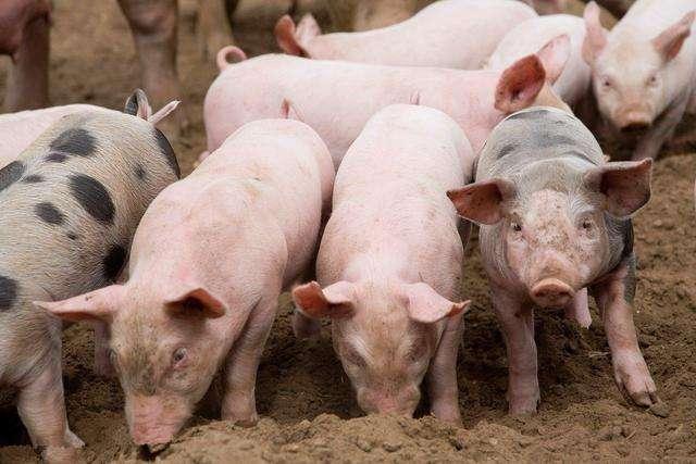 畜牧业大县稳步推进生产|巴彦生猪存栏较上年同期增长16.3%