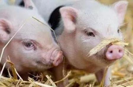 3月22日全国各省市20公斤仔猪价格报价表,今日广东省20公斤仔猪价格整体来说略高于其他省份!