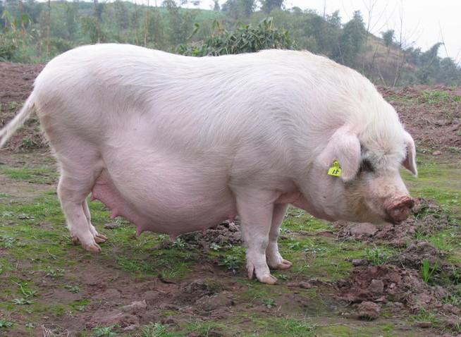 3月22日全国生猪价格内三元报价表,今日内三元价格依旧呈现下跌趋势,其中北京地区跌势明显!