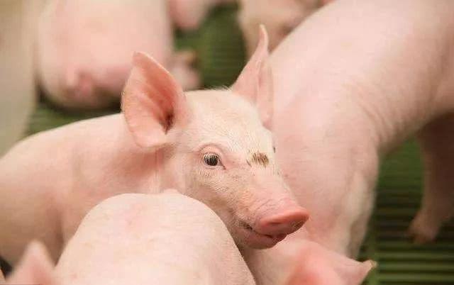 生猪养殖到底能不能赚钱?高额的养殖成本,加上高风险,养猪户扩产谨慎!