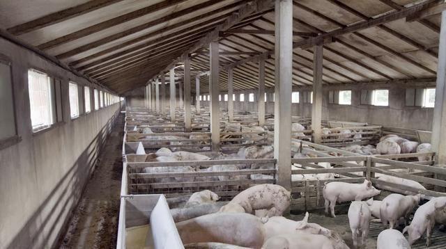 冯永辉:后市生猪价格将整体高位震荡,补栏风险并不是特别大!