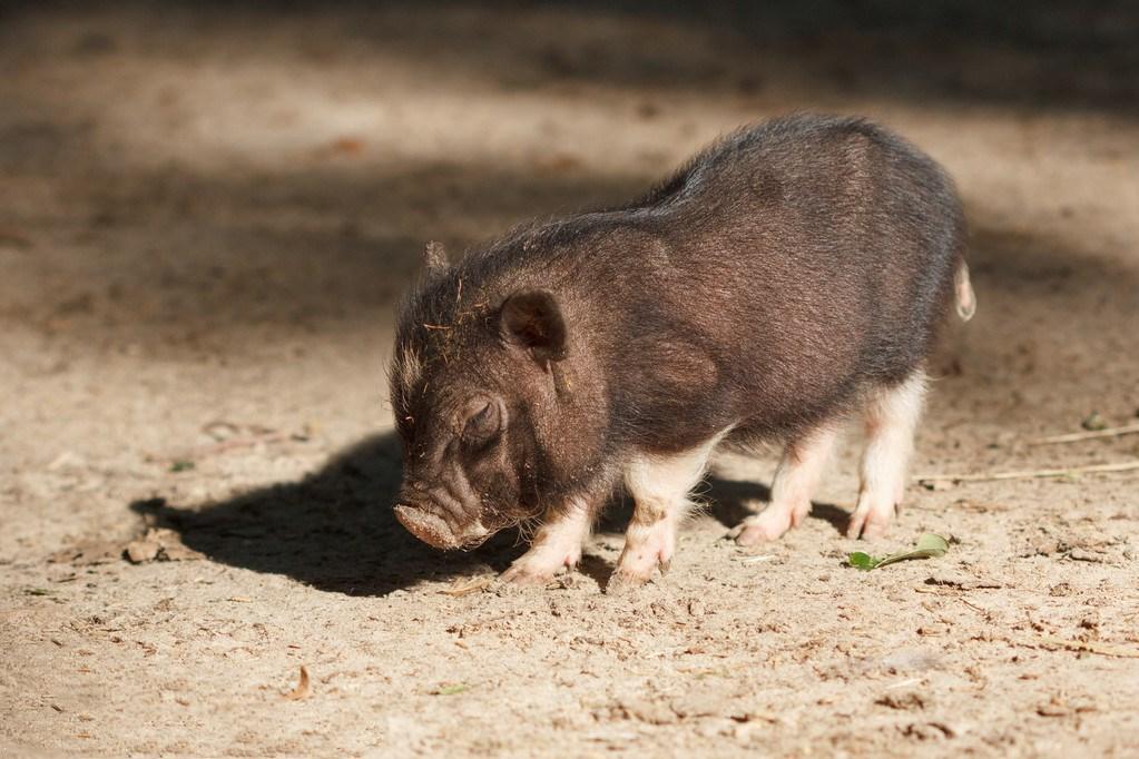 3月23日全国各省市20公斤仔猪价格报价表,就整体来看广东最高,其均价可达130元/公斤!