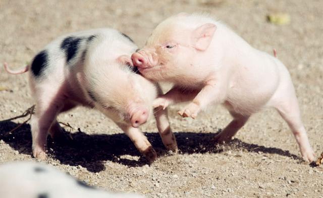 3月23日全国各省市15公斤仔猪价格报价表,主要还是呈现缓慢上涨的趋势!