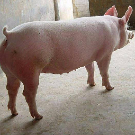 董广林┃三元留种母猪初产问题多多,咋整?