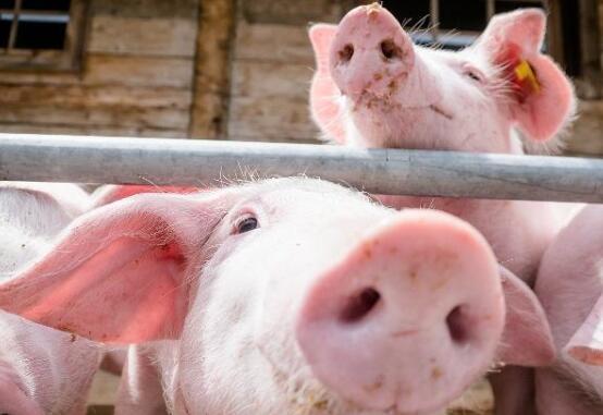 陕西铜川:肥猪拱开发财门,从此脱贫致富!
